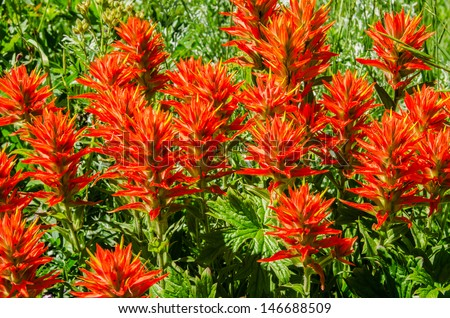 Indian paintbrush (Castilleja) wildflowers growing in Utah - stock photo