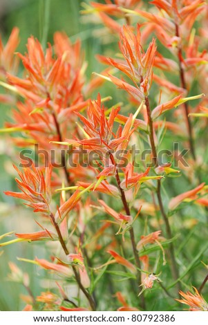 Indian Paintbrush flower growing in the wild. - stock photo