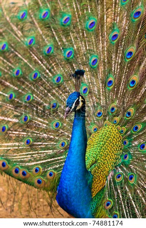 Indian peacock bird proudly showing his feathers in the zoo