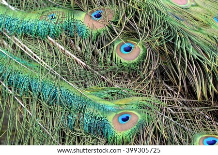 Indian peafowl, feathers - stock photo