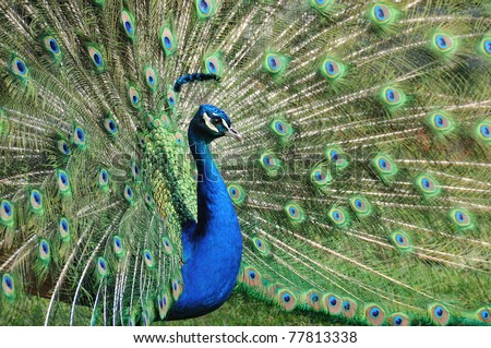 Indian Peafowl with raised fan - stock photo