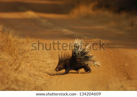 Indian Porcupine on the road - stock photo