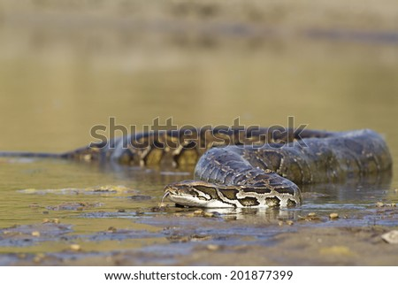 Indian python in middle of river in Bardia, Nepal specie Python molurus  - stock photo
