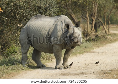Indian Rhinoceros, Rhinoceros unicornis, aka One-horned Rhinoceros, Kaziranga National Park, India, Asia