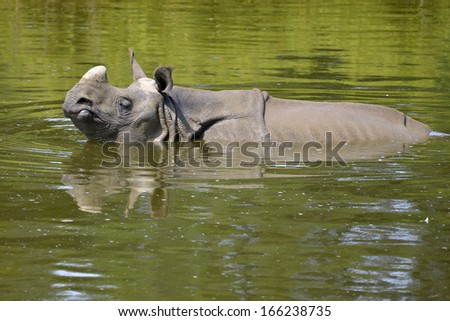 Indian rhinoceros (Rhinoceros unicornis) in water viewed from profile - stock photo