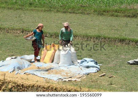 Indian Rice Harvest - stock photo