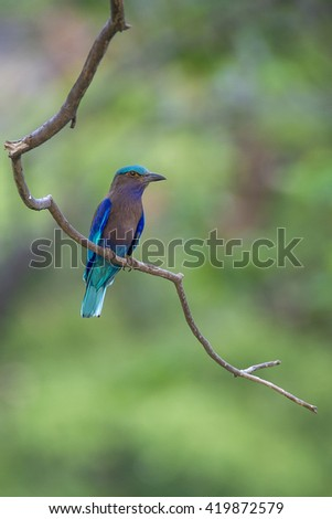Indian Roller - stock photo