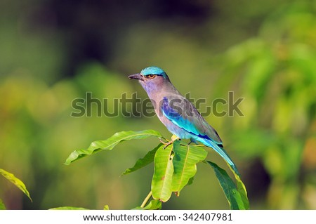 Indian roller, Blue jay