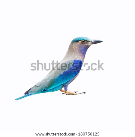 Indian Roller isolated on whtie background