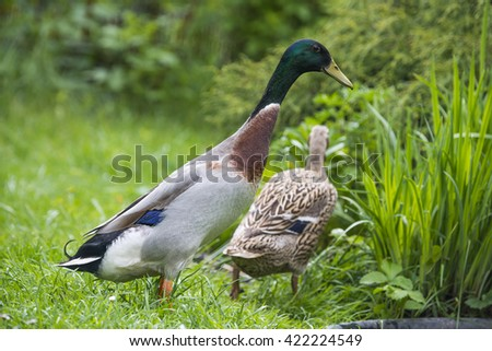 indian runner ducks in garden