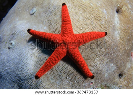 Indian sea star (Fromia indica) underwater on stony coral  - stock photo