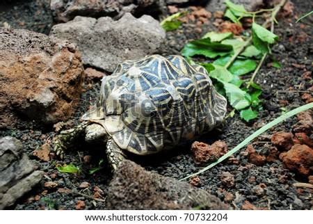Indian star tortoise - stock photo