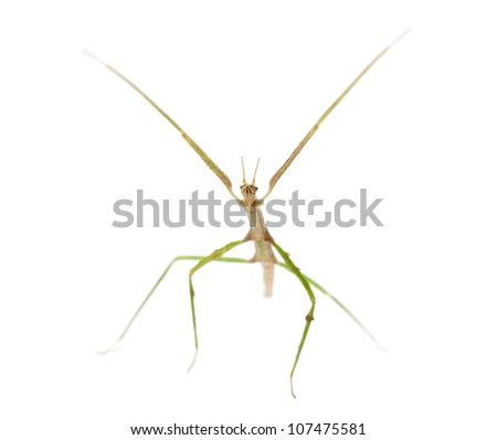 Indian Stick Insect, Carausius morosus also known as a Laboratory Stick Insect, standing against white background