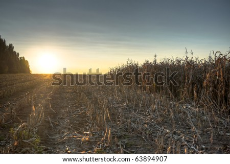 Indian summer with the sunset in a corn field - stock photo