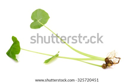Indian taro tree isolated on white background