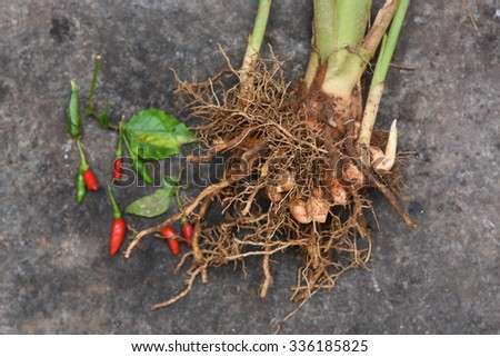 Indian Turmeric plant with mud asian herb on dark background. pile of fresh raw turmeric roots/ stem. used as spice Bangladeshi, Indian, Pakistani cuisine, curries, dyeing, to color, Ayurveda medicine - stock photo