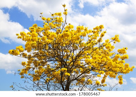 Indian yellow flowers blossom on tree stock photo royalty free indian yellow flowers blossom on the tree follows the bengals look natural mightylinksfo Image collections