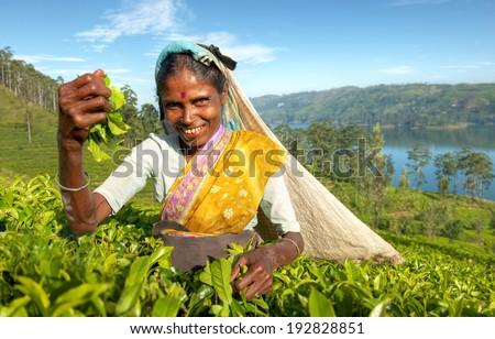 Indigenious Sri Lankan tea picker. - stock photo
