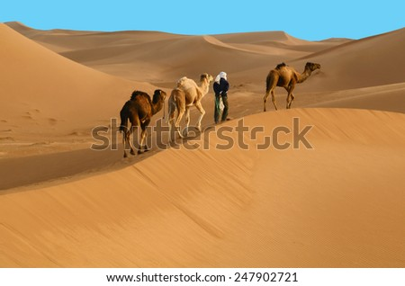 Indigenous berber man with three dromedary camels travelling in Sahara desert