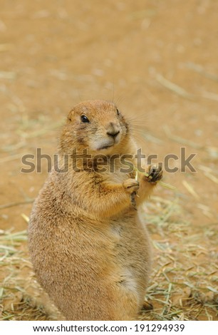 indigenous north American Black-tailed prairie dog (cynomys ludovicianus) - stock photo