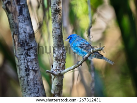 Indigo bunting, colorful songbird, in the wild - stock photo