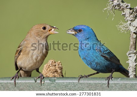 Indigo Bunting Mates Feeding on Millet Seeds - stock photo