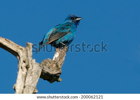 Indigo Bunting perched at the top of a dead tree. - stock photo