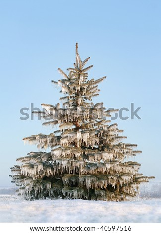 individual freeze coniferous tree, winter, covered icicles - stock photo