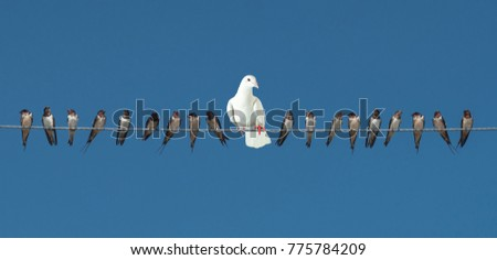 Individuality and difference or leadership concept of group of birds on power line cable on blue sky