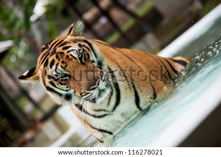 Indo-China Tiger in the pool - stock photo