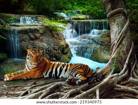 indochina tiger lying with relaxing under banyan tree against beautiful pure nature limestone waterfalls use as green natural background ,backdrop - stock photo