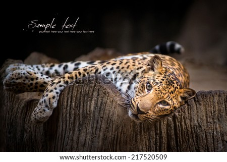 Indochinese Leopard - stock photo