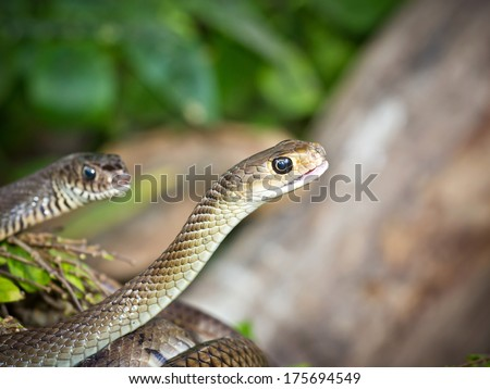 Indochinese rat snake is staying on the ground