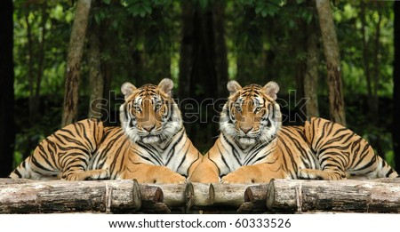 indochinese tiger - stock photo