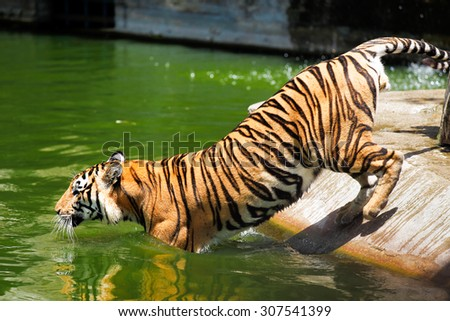 Indochinese tiger species at the zoo, Thailand. - stock photo