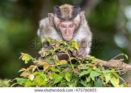 Indonesia macaque monkey ape close up portrait looking at you