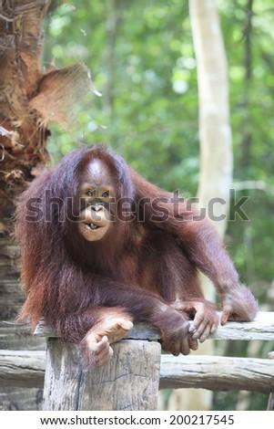 indonesia orangutan with nature - stock photo