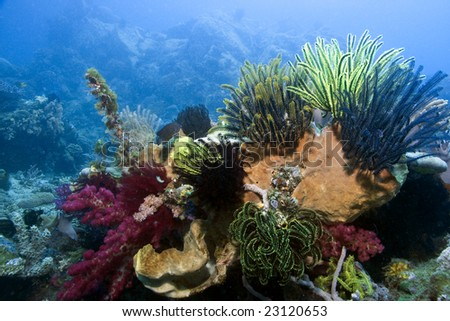 Indonesian coral reef in the Lembeh Straits