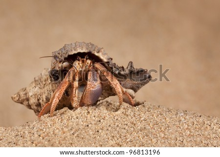 Indonesian land hermit crab (Coenobita Brevimanus) looking at the photographer - stock photo