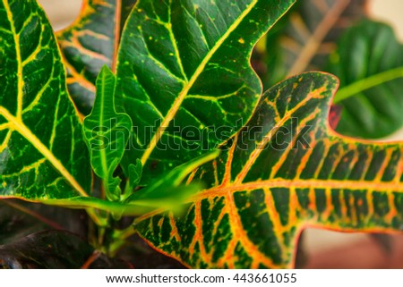Indoor flower codiaeum croton or variegated, green and yellow leaves, natural,