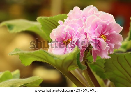 Indoor flower - pink saintpaulia in blossom over natural background - stock photo
