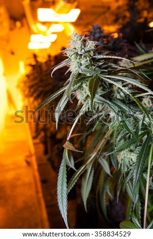 Indoor Marijuana bud under lights. This image shows the warm lights needed to cultivate marijuana. - stock photo