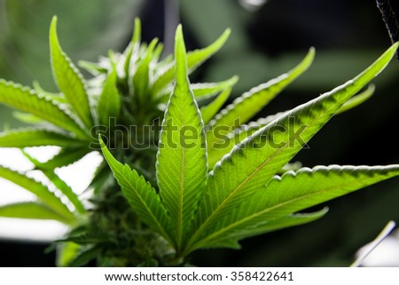 Indoor Marijuana leaf under lights - stock photo