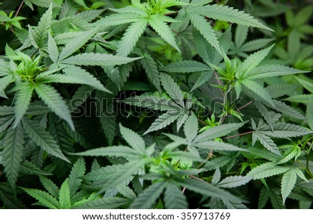 Indoor Marijuana plants, early stage before budding - stock photo
