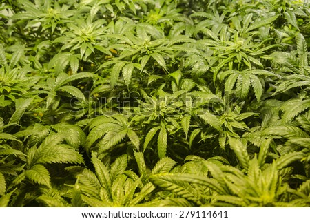 Indoor medical indica marijuana garden - stock photo