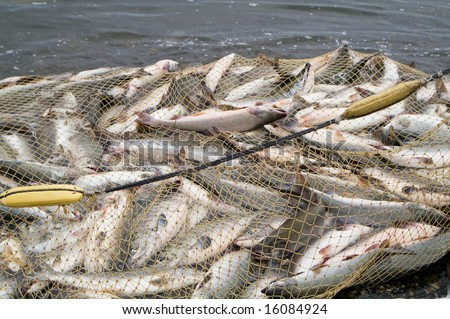 industrial catch salmon by networks - stock photo