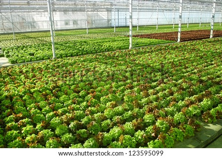 Industrial hothouse with lettuce sorts - stock photo