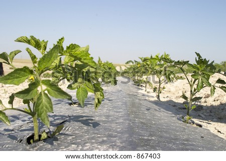 Industrial tomatoes Plants