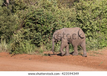 Infant Elephant calf (Loxdonta) walking on a dusty gravel road in Pilanesberg, South Africa