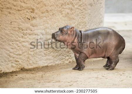 Infant Hippopotamus - stock photo